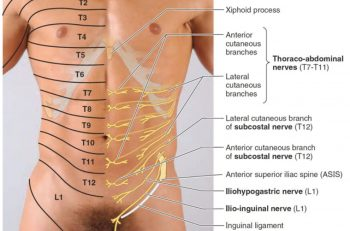 Figur 1a. Oversikt over de aktuelle dermatomene og hvordan intercostalnervene penetrerer fremre bukvegg. Bildet er hentet fra: https://humananatomycharty.com