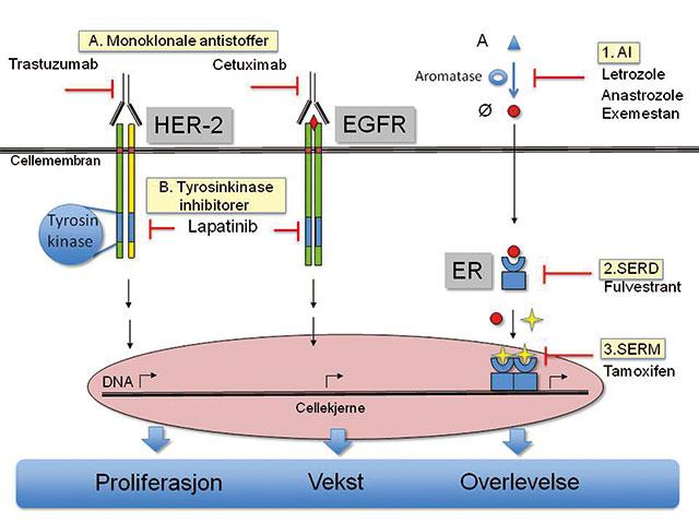 Figur 7. Oversikt over de noen sentrale medikamenter med virkning på cellulære signalveier som driver proliferasjon, vekst og overlevelse av brystkreftcellene. Monoklonal antistoffer (A) hemmer vekstfaktorreseptoren HER-2 og EGFR via ekstracellulære domene, men tyrosinkinaseinhibitorene (B) hemmer den intracellulære tyrosin kinasen som initierer signalkaskaden inn mot cellekjernen. Østrogenreseptoren hemmes på tre ulike steder: 1. Hemme omdanning av androgener til østrogener hos postmenopausale kvinner med aromatasehemmere. 2. Nedregulering av selve østrogen reseptoren med fulvestrant som øker dens nedbryting. 3. Hemme binding av østrogener til østrogenreseptoren med tamoxifen som modulerer effekten av reseptoren. HER 2: human epitelial vekstfaktor reseptor; EGFR: epitelial vekstfaktor reseptor; ER: østrogen reseptor; A: androgener; Ø: østrogener; AI: aromatase inhibitor; SERD: selektiv østrogen reseptor nedregulator; SERM: selektiv østrogen reseptor modulator; omvendt Y-form: monoklonalt antistoff; rød liggende T-pil: hemmende virkning; rød liten runding: østradiol; gul stjerne: tamoxifen; vinklet sort pil: transkripsjon (avlesning) av gener fra DNA tråden.