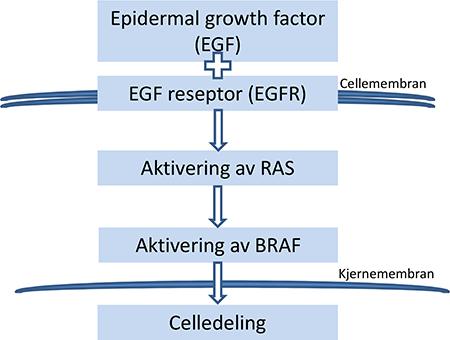 Figur 1. Forenklet figur av EGFR/RAS/BRAF.