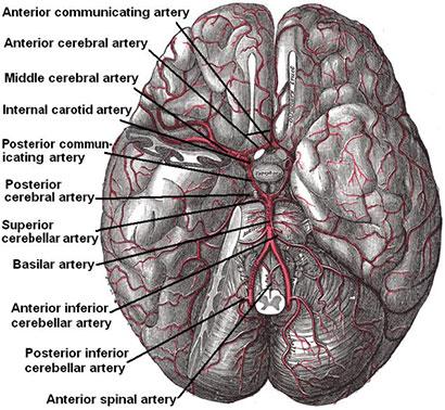 Figur 1. Basis av hjernen med arteriell blodforsyning via circulus Willisi .