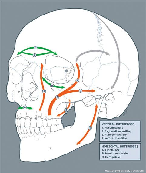 Fig. 4. Bærebjelker i ansiktsskjellettet.(Copyright 2003-2010 University of Washington. All rights reserved) Gjengitt med tillatelse.