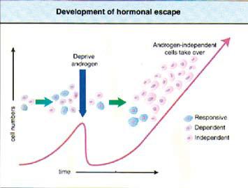 Figur 1. Effekt av androgen deprivasjon er tidsbegrenset. Etter hvert vil androgen insensitive cancer celler få overtaket